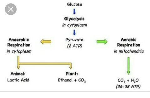 what is the end product of aerobic respiration