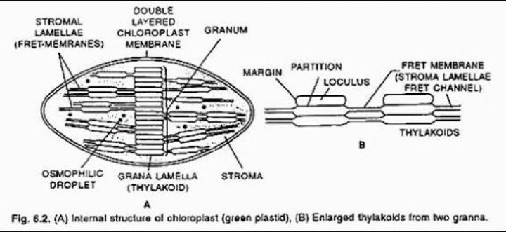 Draw a neat and labelled diagram of chloroplast what are accessory download jpg ccuart Gallery