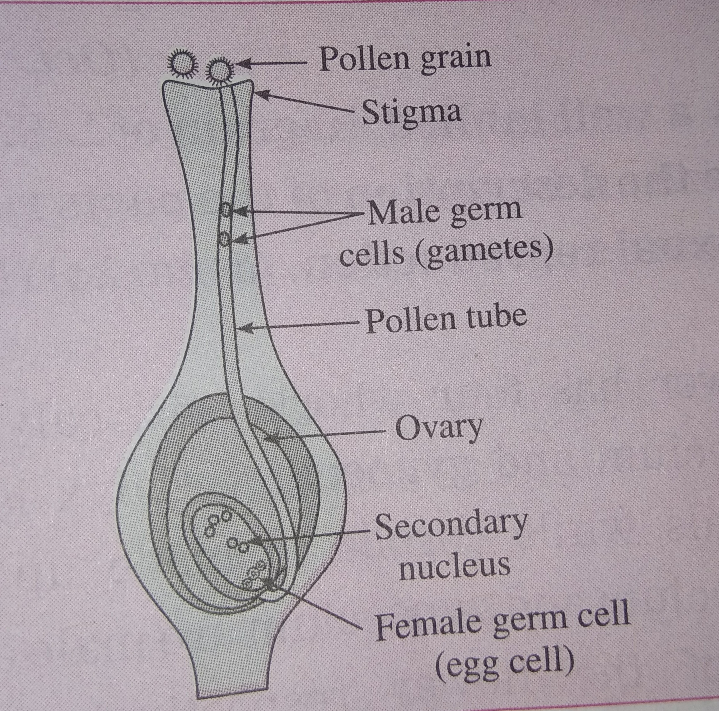 Describe Double Fertilization In Plants  The Stages Of