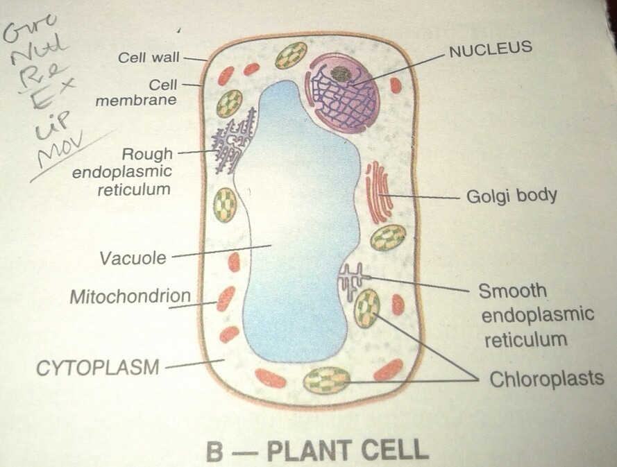 54f6bd8e8d35e40e1b208d9a63299f2b draw outline diagram of a bacterial cell and plant cell label only