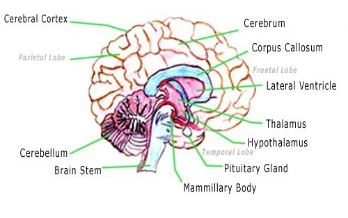 Draw The Sketch Of Human Brain And Label Midbrain And Pituitary