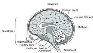 Draw a neat diagram of cross section of human brain and ...