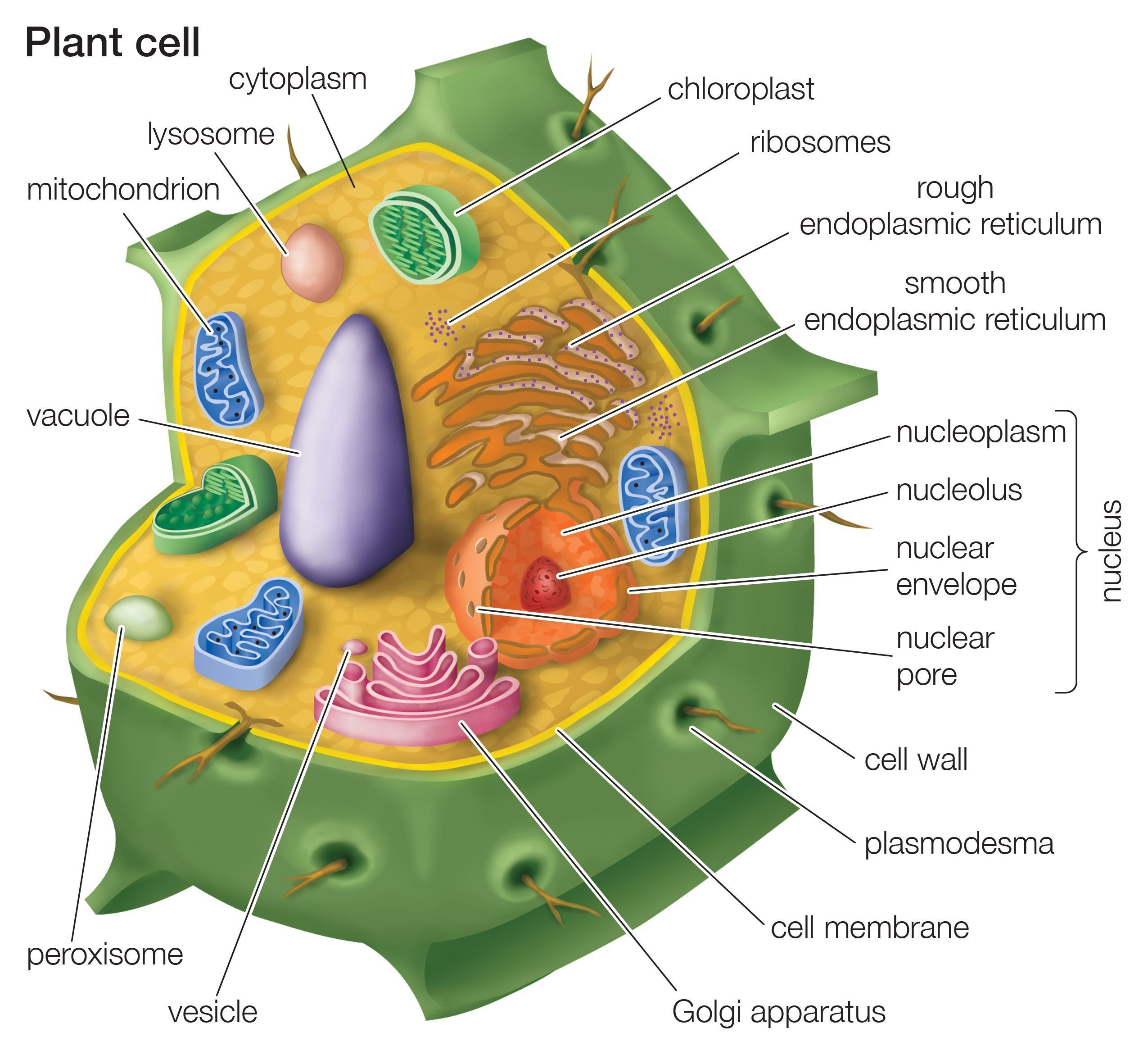 Draw a plant cell and label the parts a synthesize food b download jpg pooptronica Image collections