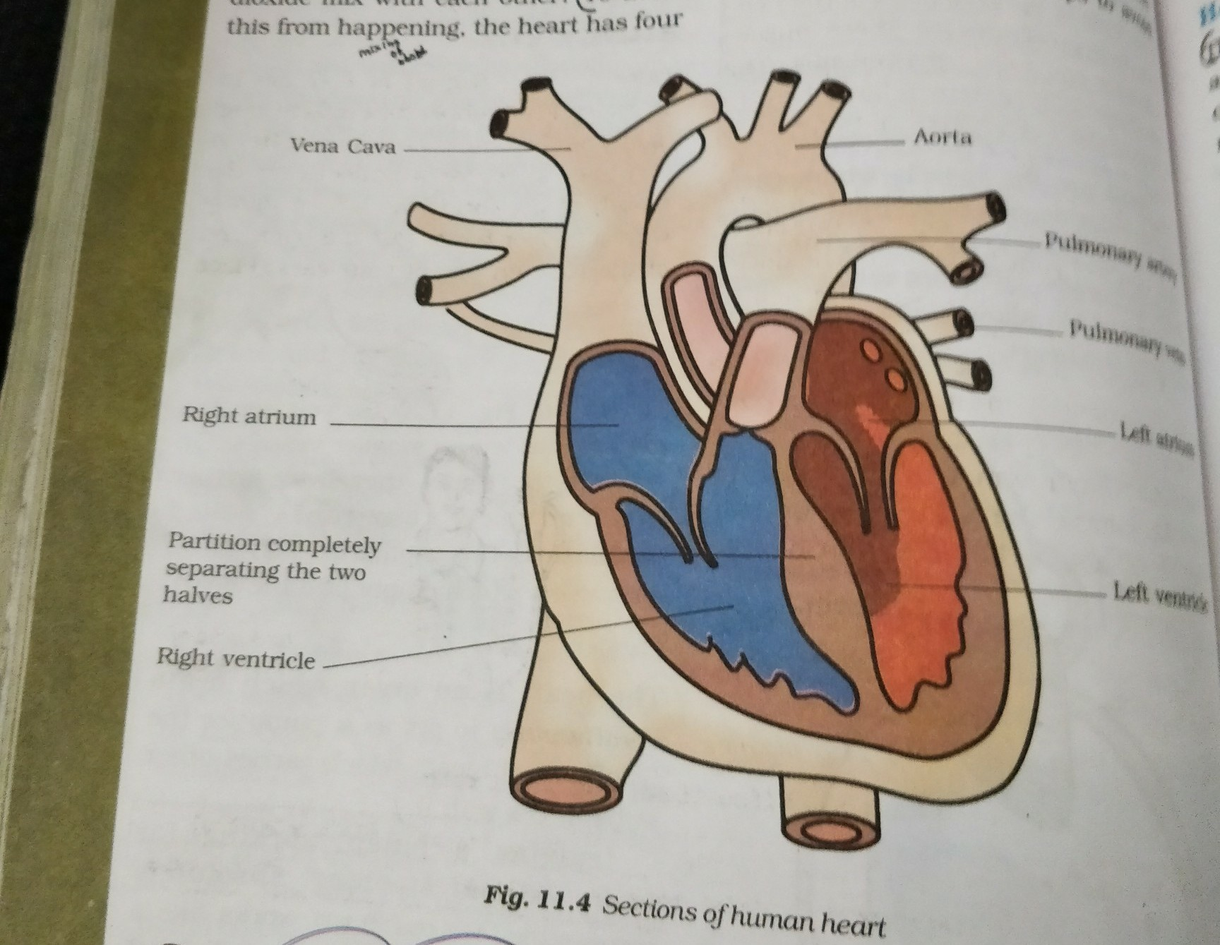 Draw a neat labeled diagram of: human heart - Brainly in