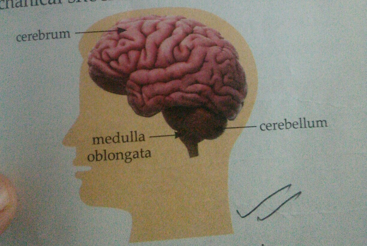 Draw The Diagram Of Human Brain And Label On In Cerebrum And