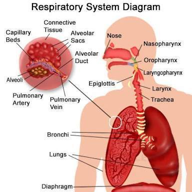 Explain the respiratory system in human beings with a diagram download jpg ccuart Choice Image