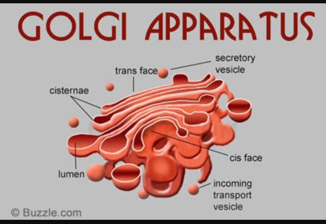 Draw a diagram of the golgi apparatus and describe its structure download jpg ccuart Choice Image
