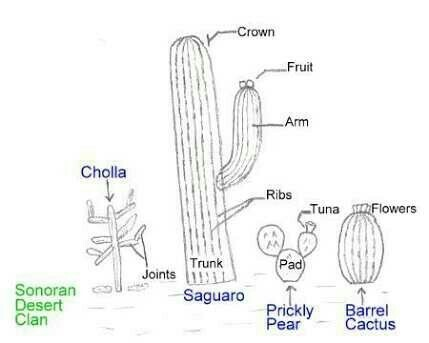 draw a cactus and labled them brainly in Saguaro Cactus Roots Diagram