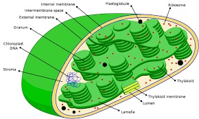 Explain the structure of chloroplast brainly download png ccuart Image collections