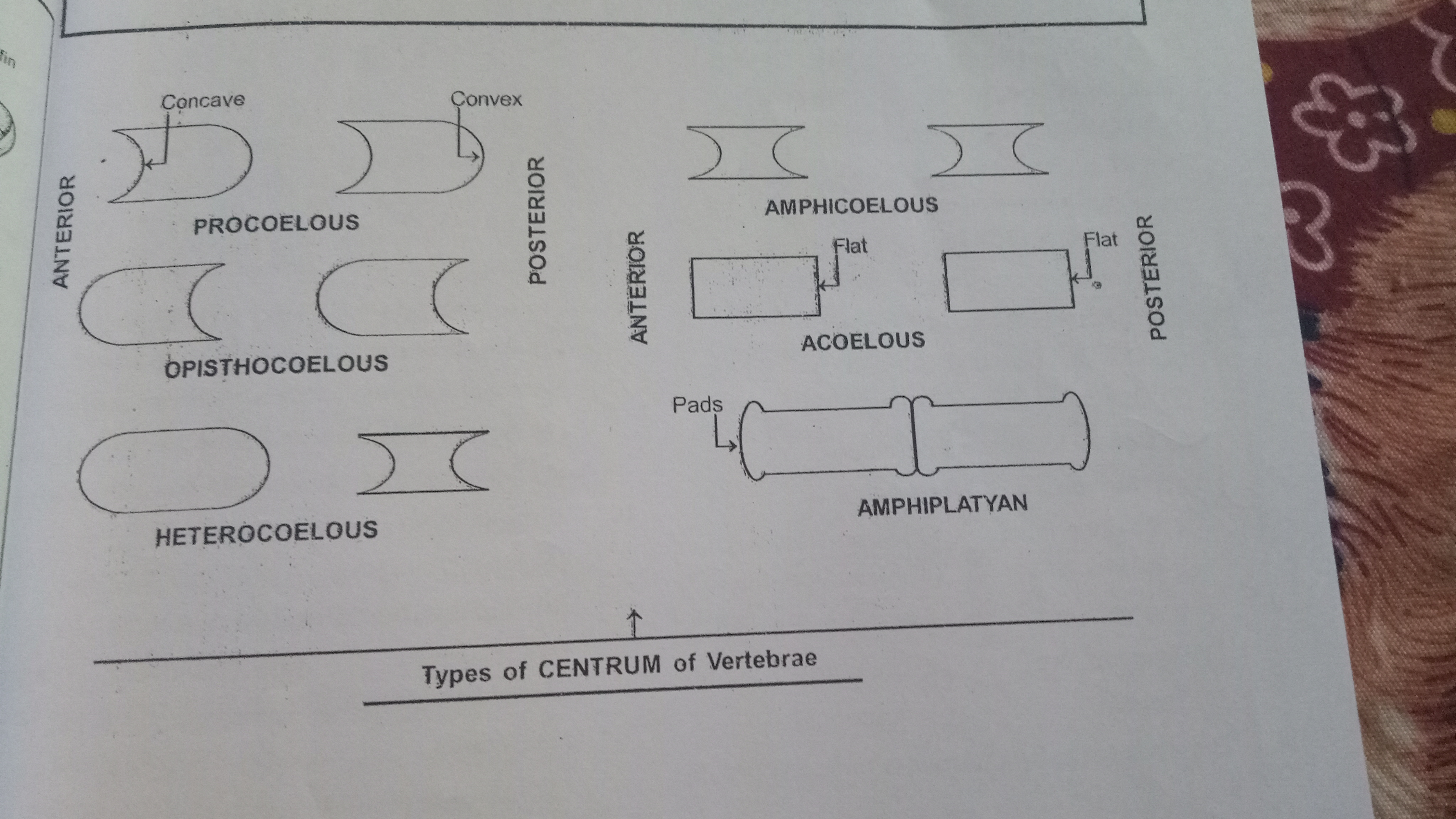 What Are The Types Of Centrum Of Vertebrae Brainly