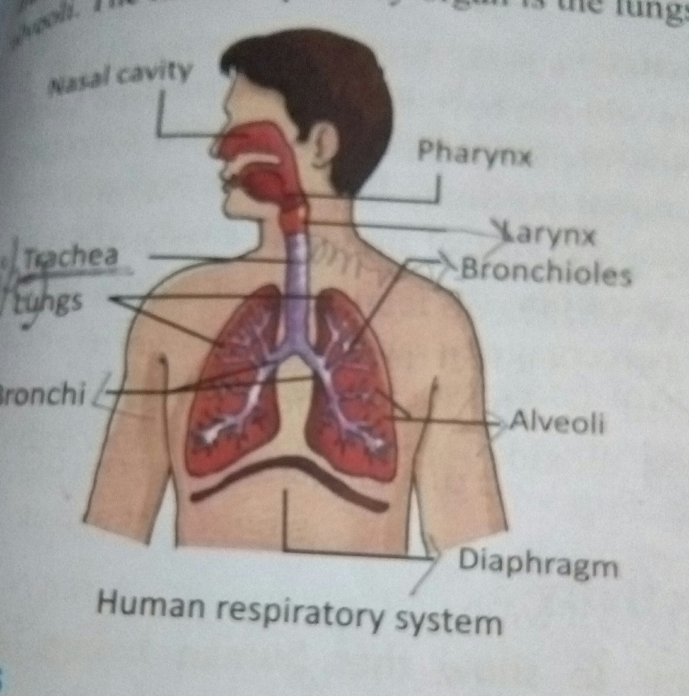Draw and label diagram of human respiratory system with diaphragm this is a human respiratory system ccuart