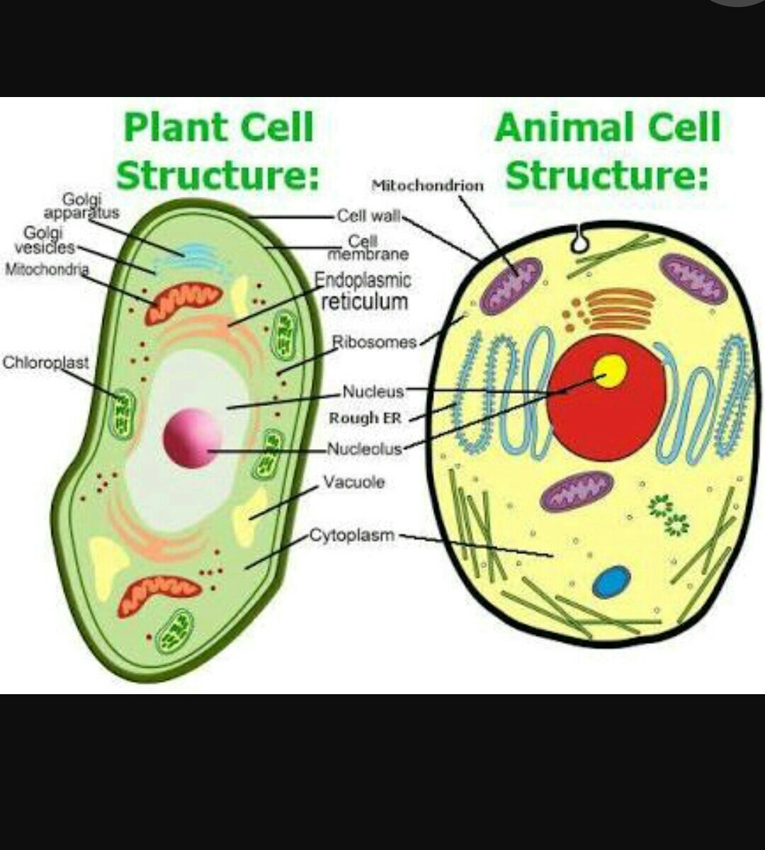 Please Send Pic Of Diagram Animal And Plant Cells Cell Structure Download