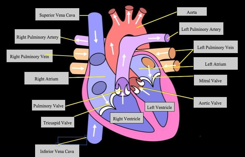 label the diagram of heart - Brainly.in