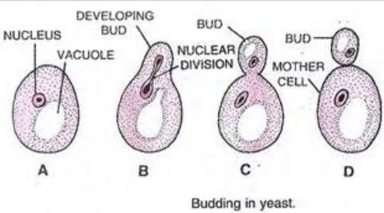 Which helps in the asexual reproduction of yeast images 39