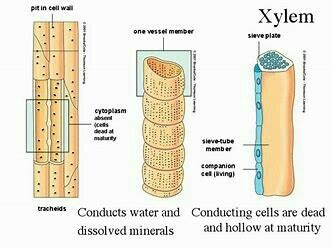 how many type of alement together make up the xylem tissue ...