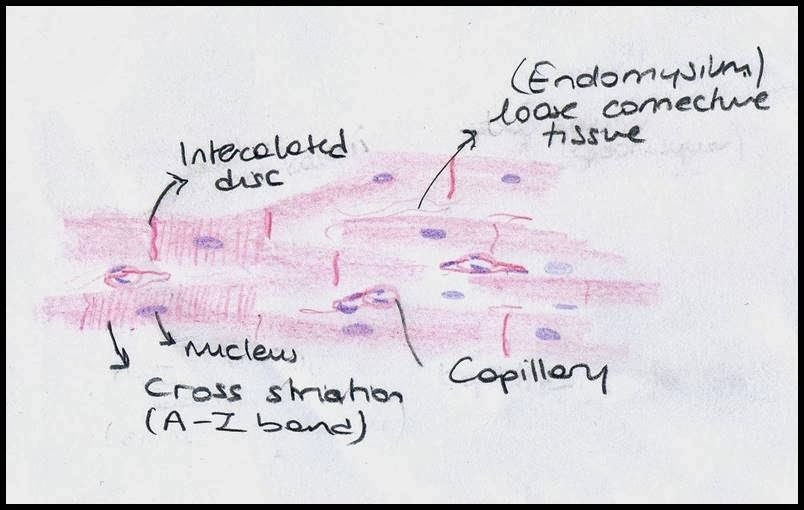 Draw Well Labeled Diagram Of Cardiac Muscle Brainly