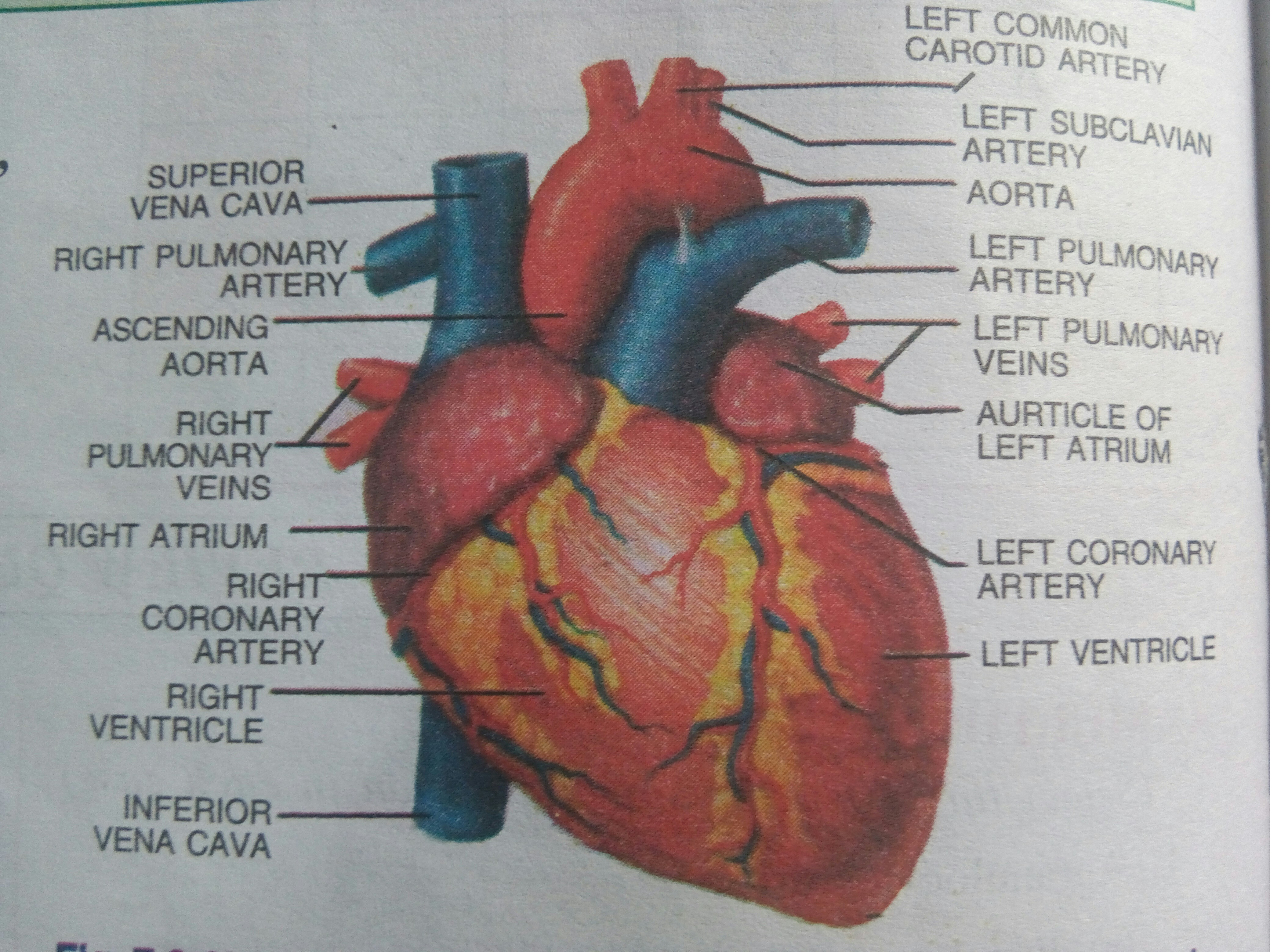 Draw a brief sketch of human heart and label it in pencil