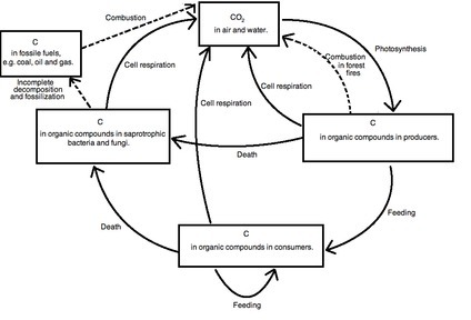 Draw a well labelled diagram of carbon cycles brainly download jpg ccuart Gallery