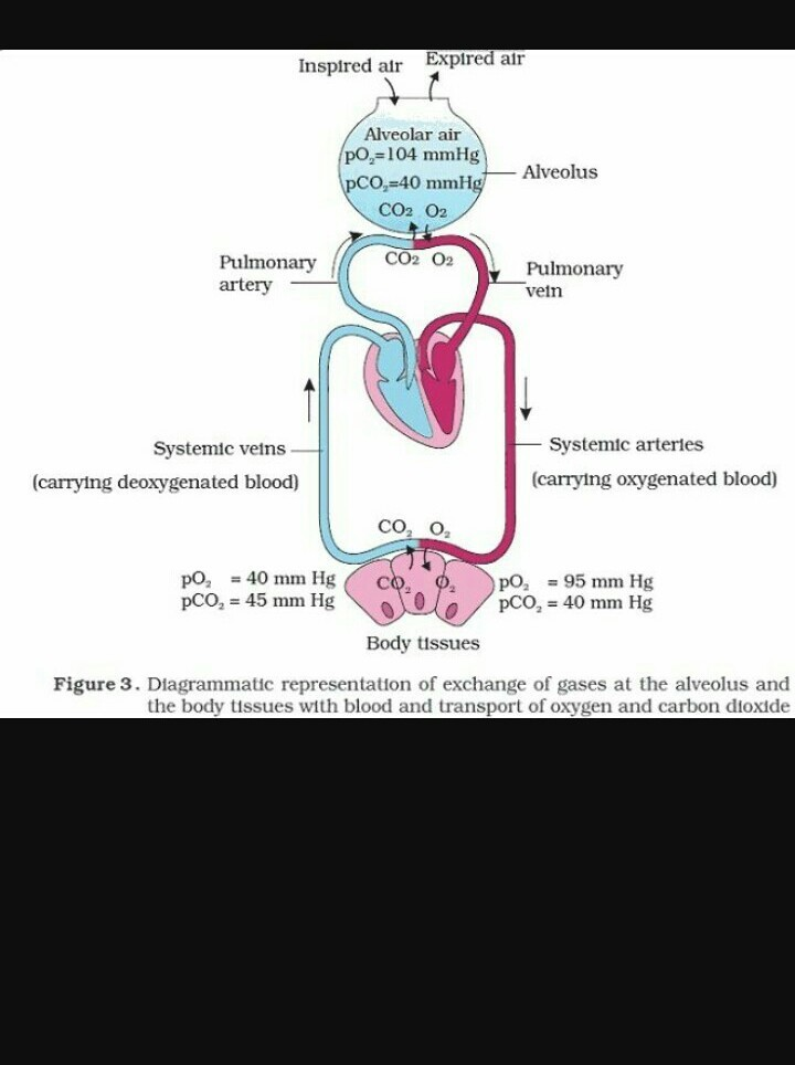 Make a schematic representation of transport and exchange of oxygen Make A Schematic on