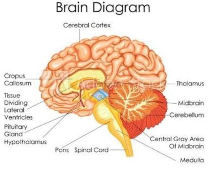 Draw a diagram showing sectional view of brain. Label its ...
