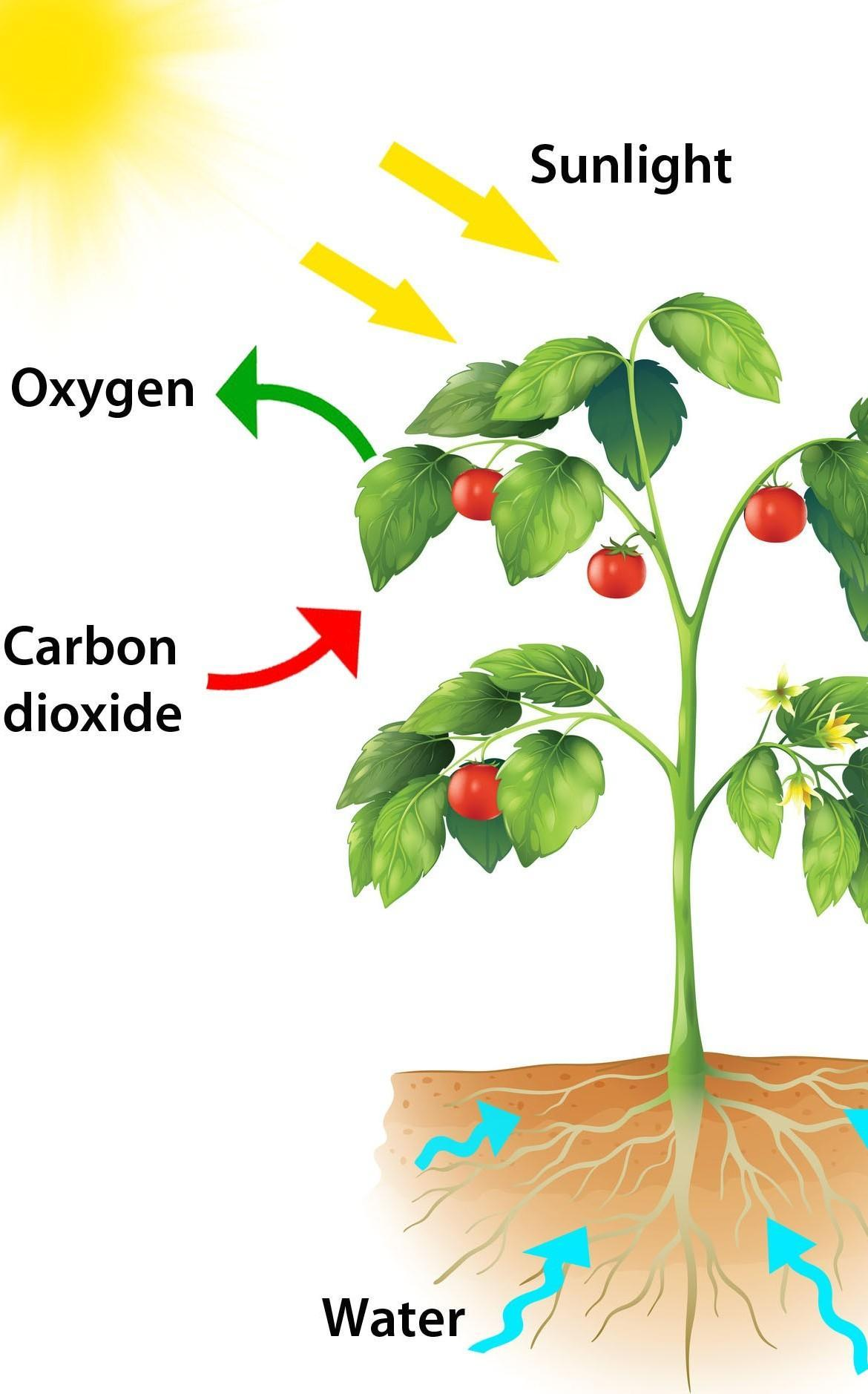 Describe the process of photosynthesis with diagram ...