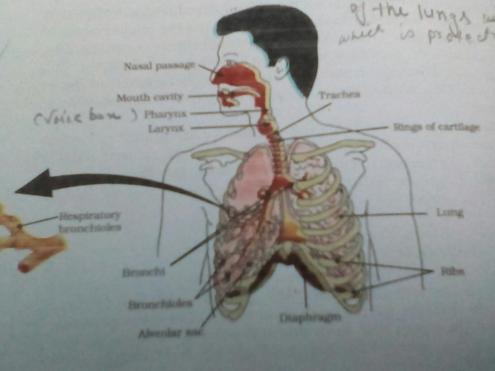 34 Label The Lungs Diagram
