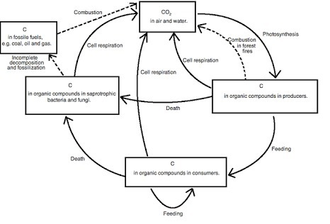 Draw A Well Label Diagram Of Carbon Cycle Brainly In