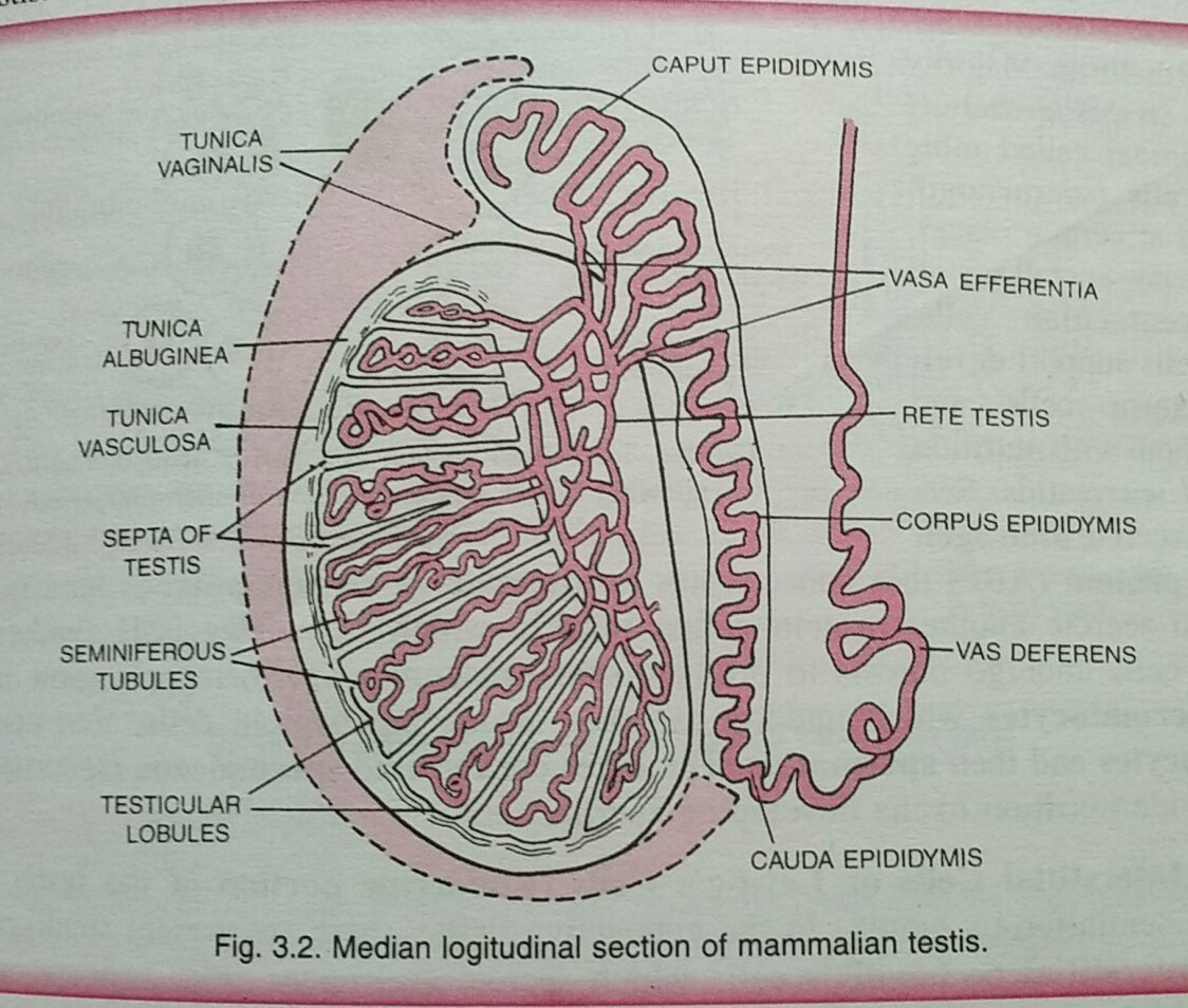 The correct order of the reproductive tract of a male human being is ...