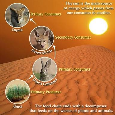 Give An Example Of Food Chain In Desert Ecosystem Brainly In