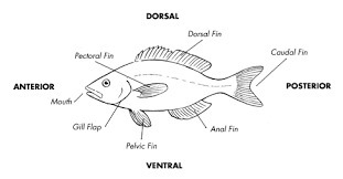 draw the labeled diagram of bony fish brainly in Animal Cell Coloring Diagram 0 0