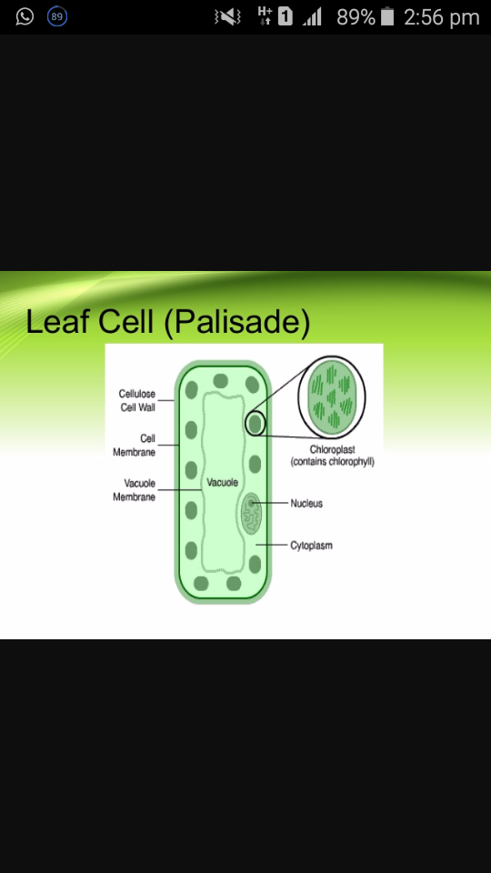 Diagram Of A Palisade Cell Brainly