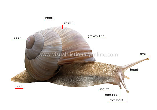 Locomotary Organ Of A Snail Brainly In