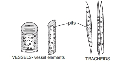 a  state one point of difference between xylem and phloem