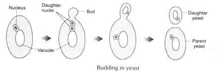 I Want Diagram Of Budding In Yeast Brainlyin