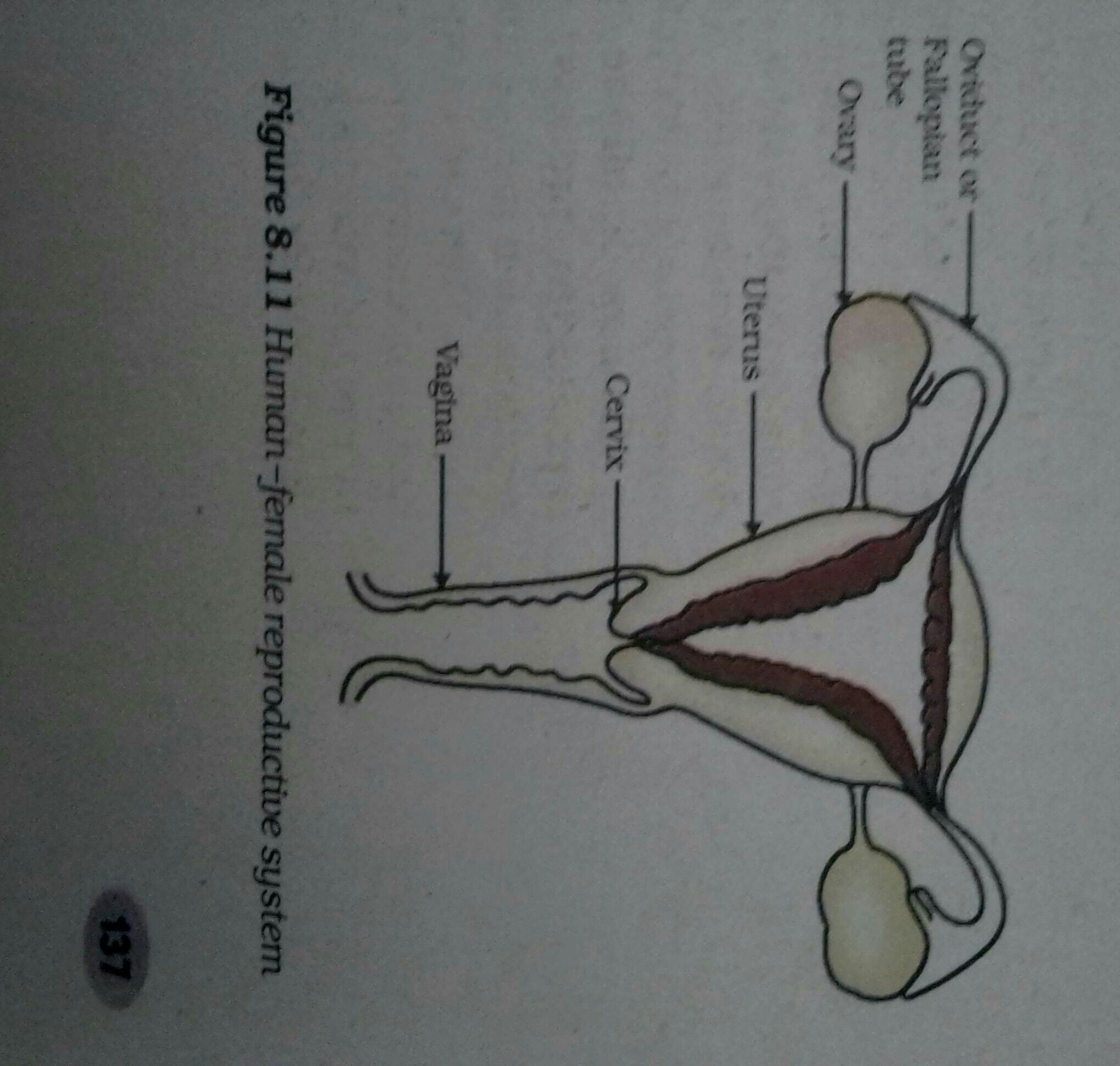 Human Female Reproductive System Sketch The Labeled Diagrams