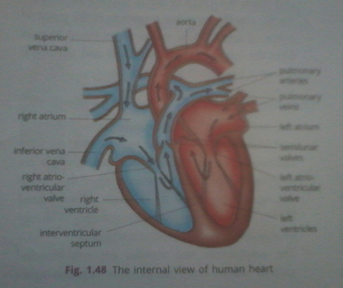 Draw Structure Of Heart And Explain Its Functioningke Its