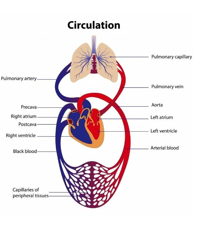 Draw schematic representation of blood circulation.Explain ...