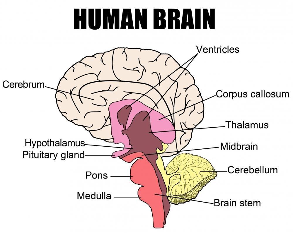 Enchanted Learning Brain Diagram Schematic Diagram