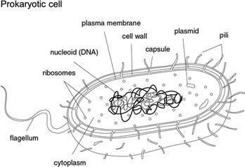 Sensational Labeled Prokaryotic Cell Diagram Labeled Prokaryotic Cell Diagram Wiring Digital Resources Bocepslowmaporg