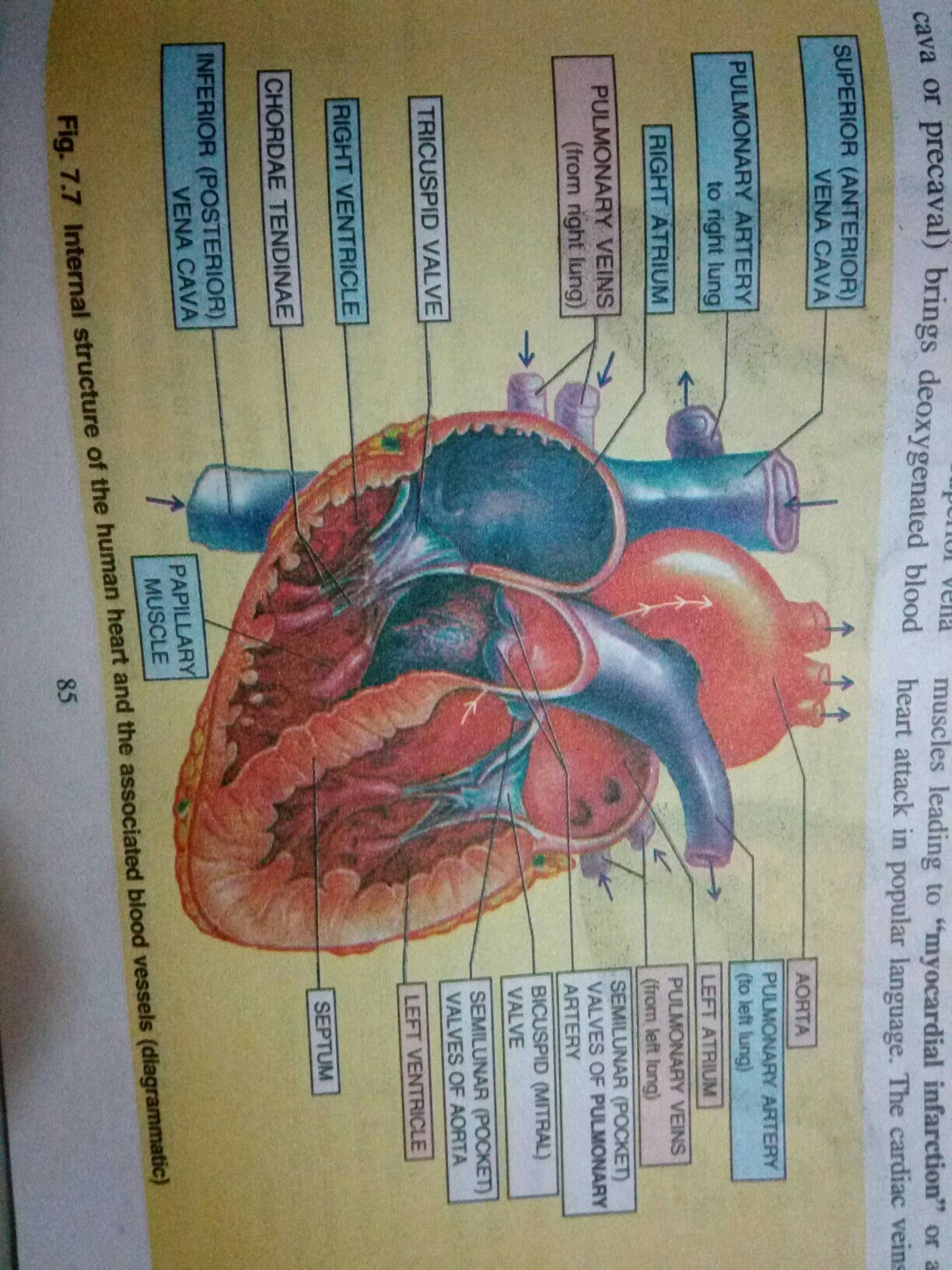 Draw A Neat Labeled Diagram Of Human Heart Brainly
