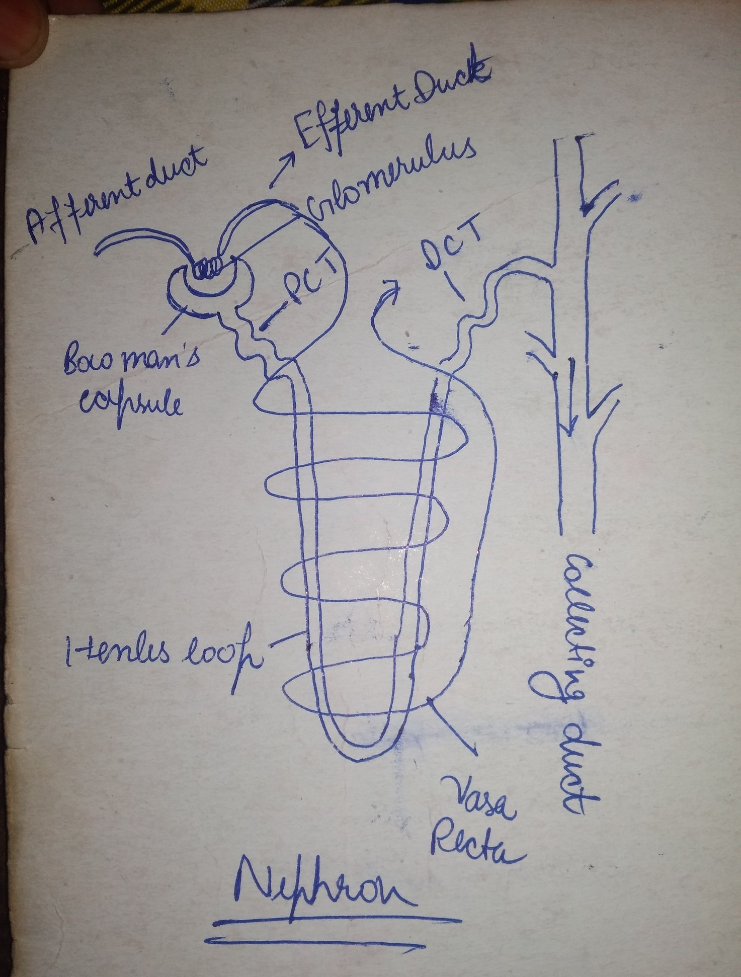 Pls give me an easy diagram of NEPHRON    Only easy