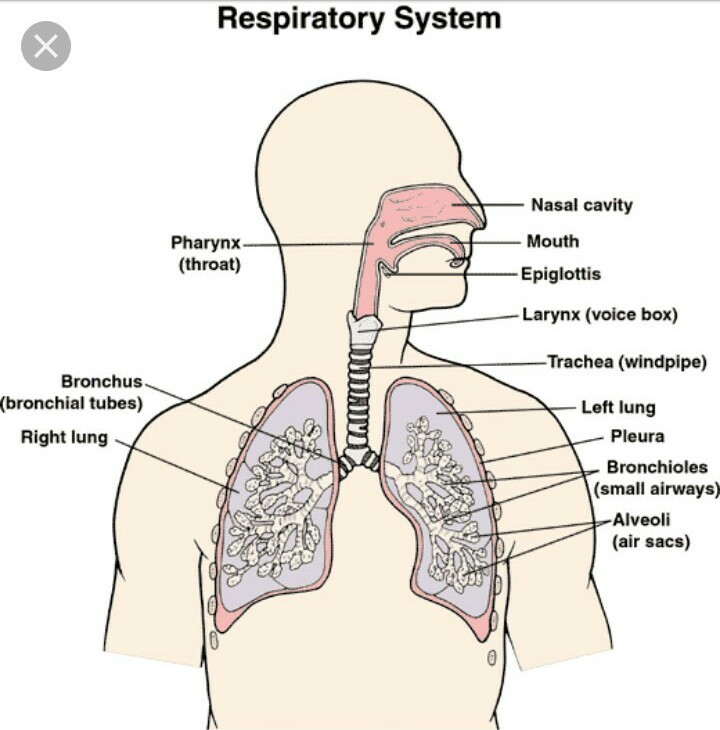 Describe the structure of human respiratory system with the help of download jpg ccuart Image collections