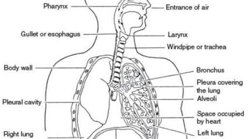 Draw And Label Diagram Of Human Respiratory System With Diaphragm