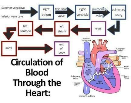 provide flow chart of human circulatory system - Brainly in