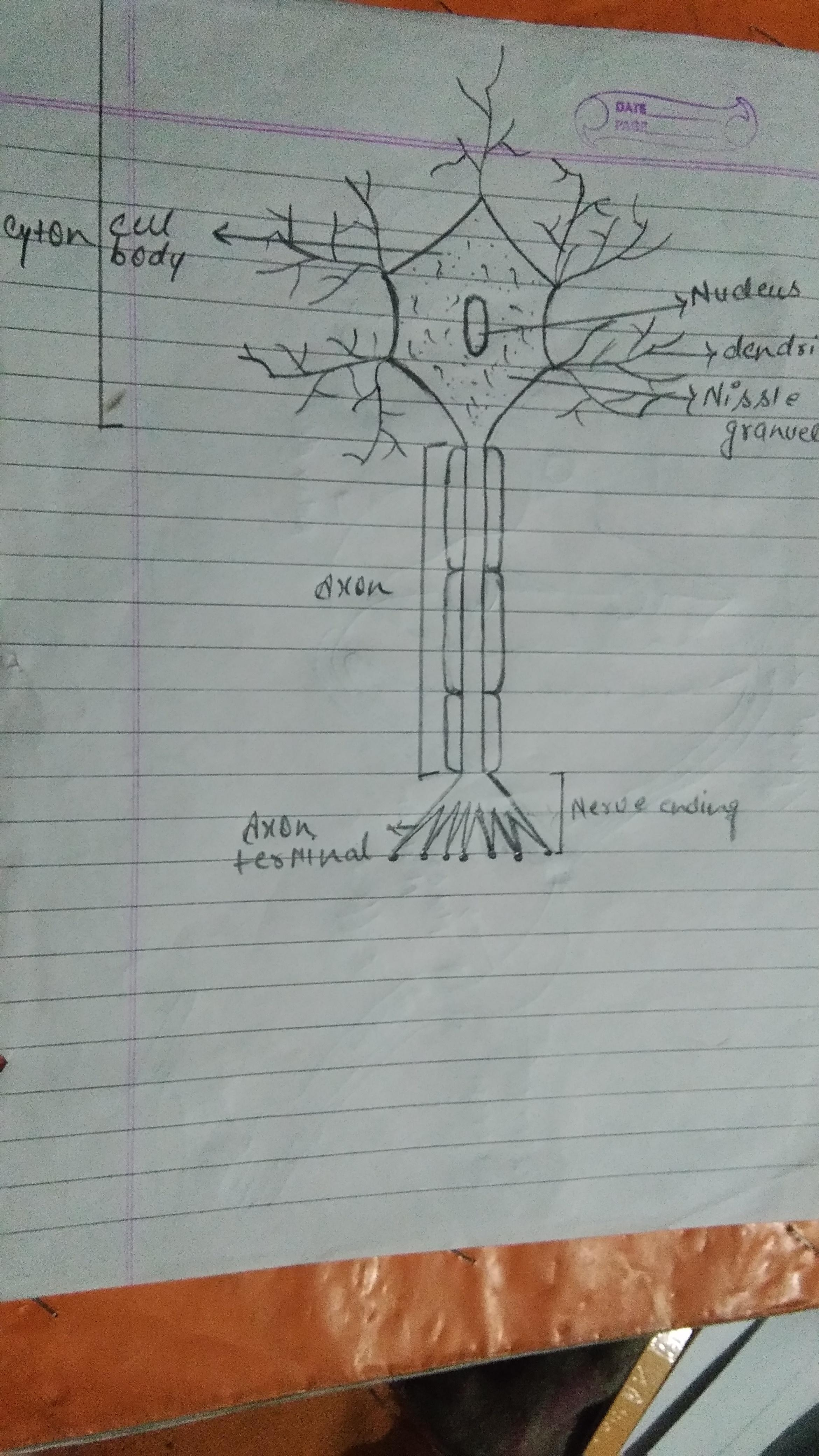 Draw a well labelled diagram of neuron - Brainly.in