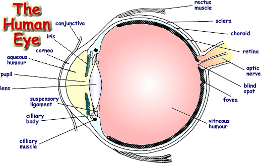 Draw a labeled diagram of human eye write the functions of cornea download png ccuart Choice Image