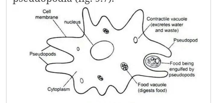 Amoeba Diagram Simple Brainly