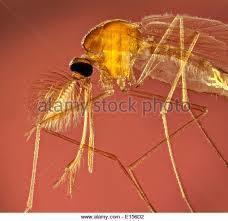 Female African Malaria Mosquito Anopheles Gambiae Giles