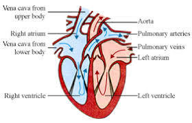 Diagram of heart for class 10 brainly download jpg ccuart