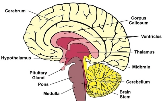 Please send me a labelled diagram of brain label only cerebral download jpg ccuart Choice Image